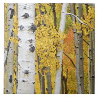 USA, Colorado, Rocky Mountains.  Intimate aspen Tile