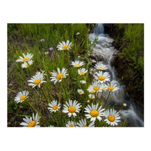 USA, Colorado, San Juan Mountains. Daisies Post Cards