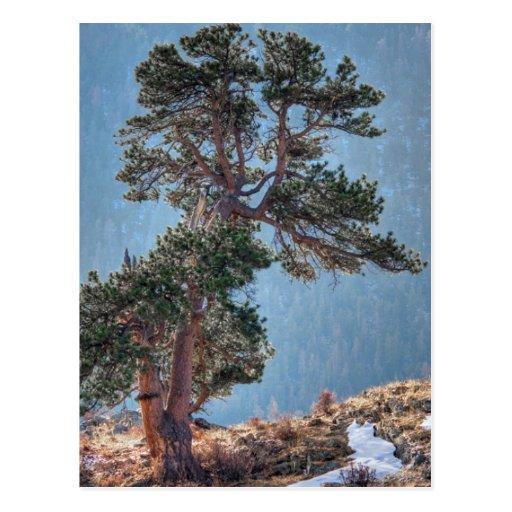 USA, Colorado, Tree In Estes Park Post Card