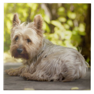 USA, Colorado, Yorkshire terrier lying down and Large Square Tile
