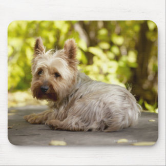 USA, Colorado, Yorkshire terrier lying down and Mouse Mat
