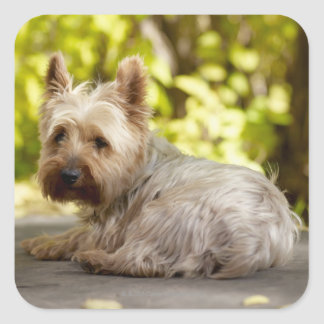 USA, Colorado, Yorkshire terrier lying down and Square Sticker