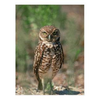 USA, Florida, Burrowing Owl. 2 Post Card