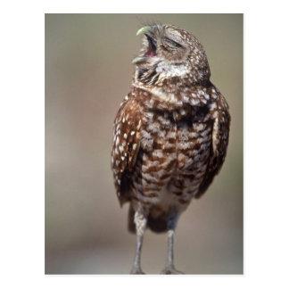 USA, Florida, Burrowing Owl. Postcard