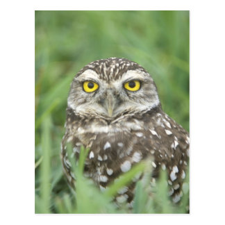 USA, Florida, Cape Coral, Burrowing Owl (Athene Postcard