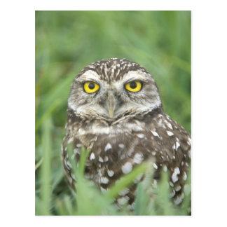 USA Florida Cape Coral Burrowing Owl Athene Post Card