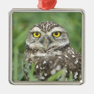 USA, Florida, Cape Coral, Burrowing Owl (Athene Silver-Colored Square Decoration