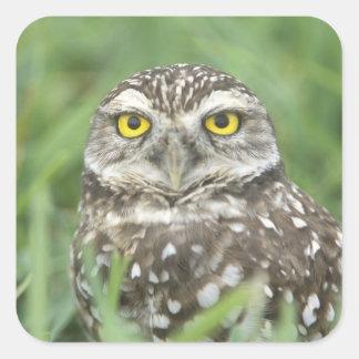USA, Florida, Cape Coral, Burrowing Owl (Athene Square Sticker