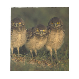 USA, Florida, Cape Coral. Three Burrowing Owls Notepad
