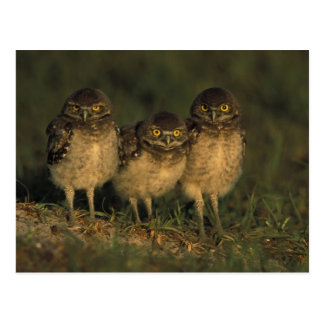 USA, Florida, Cape Coral. Three Burrowing Owls Postcard