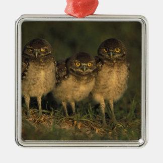 USA, Florida, Cape Coral. Three Burrowing Owls Silver-Colored Square Decoration