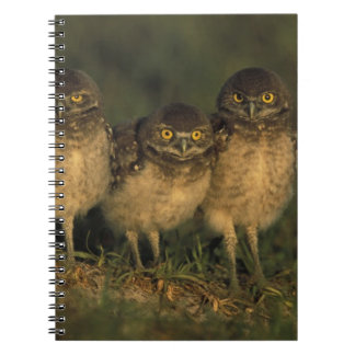 USA, Florida, Cape Coral. Three Burrowing Owls Spiral Notebook