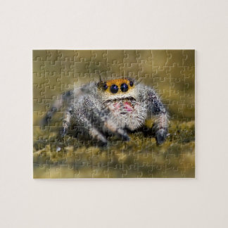 USA, Florida. Close-up of jumping spider. Credit Jigsaw Puzzle
