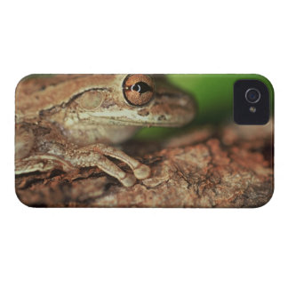 USA, Florida, Cuban Tree Frog. iPhone 4 Covers