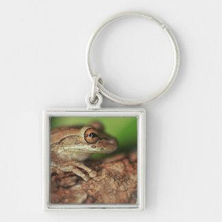 USA, Florida, Cuban Tree Frog. Key Ring