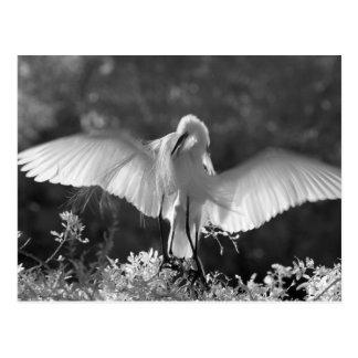 USA, Florida, Great Egret (Ardea alba) infrared 2 Postcard
