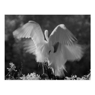 USA, Florida, Great Egret (Ardea alba) infrared 3 Postcard