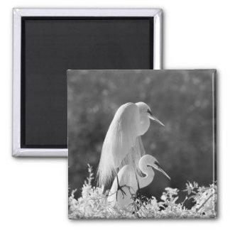 USA, Florida, Great Egret (Ardea alba) infrared Square Magnet
