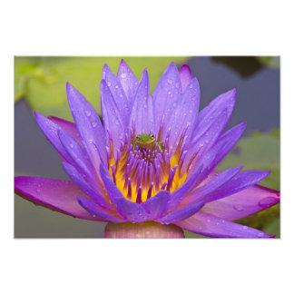 USA, Florida, Lake Kissimmee. Green leaf frog Photographic Print