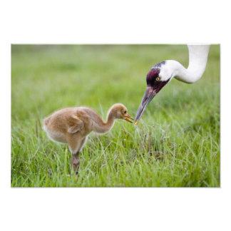 USA, Florida, Lake Kissimmee. Whooping crane Photo Print