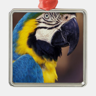 USA, Florida. Macaw Christmas Ornament