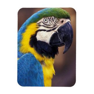 USA, Florida. Macaw Magnet
