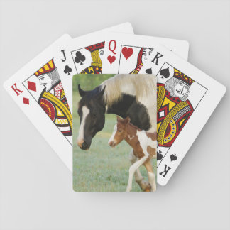 USA, Florida, Newborn Paint filly Playing Cards