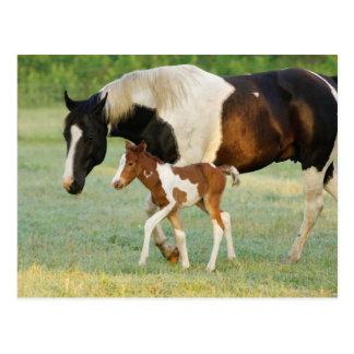 USA, Florida, Newborn Paint filly Postcard