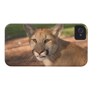 USA, Florida panther (Felis concolor) is also iPhone 4 Case-Mate Case