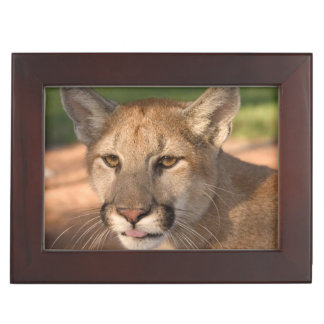 USA, Florida panther (Felis concolor) is also Keepsake Box