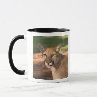 USA, Florida panther (Felis concolor) is also Mug