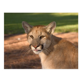 USA, Florida panther (Felis concolor) is also Postcard