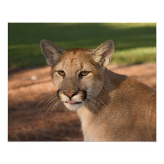 USA, Florida panther (Felis concolor) is also Poster