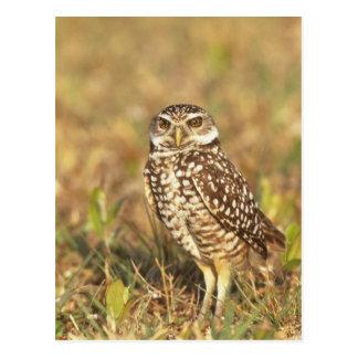USA, Florida, Pompano Beach. A burrowing owl in Postcard