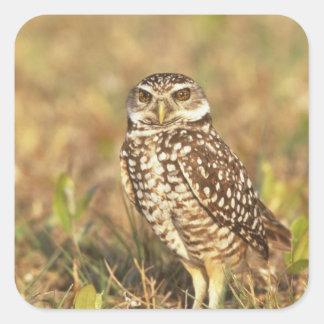 USA, Florida, Pompano Beach. A burrowing owl in Square Sticker