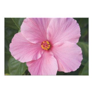 USA, Florida, Sanibel, Hibiscus Rose of Photographic Print