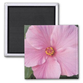 USA, Florida, Sanibel, Hibiscus Rose of Square Magnet