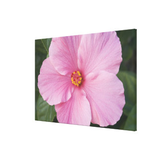 USA, Florida, Sanibel, Hibiscus Rose of Stretched Canvas Prints