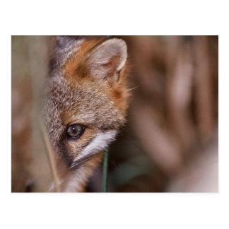 USA, Florida, Swamp Fox Postcard