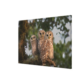 USA, Florida, Viera Wetlands. Three barred Canvas Print