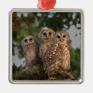 USA, Florida, Viera Wetlands. Three barred Christmas Ornament