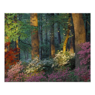 USA, Georgia, Callaway Gardens, Azalea forest. Poster
