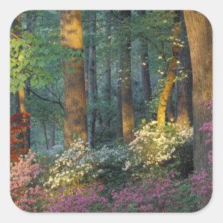 USA, Georgia, Callaway Gardens, Azalea forest. Square Sticker