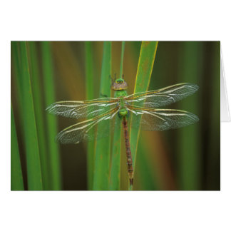 USA, Georgia. Green darner dragonfly on reeds Card