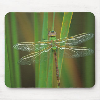 USA, Georgia. Green darner dragonfly on reeds Mouse Mat