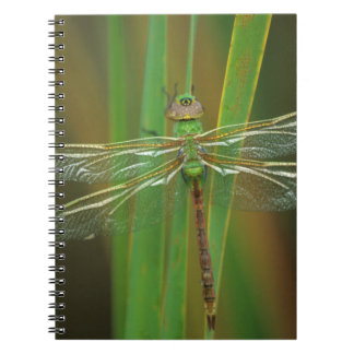 USA, Georgia. Green darner dragonfly on reeds Notebooks