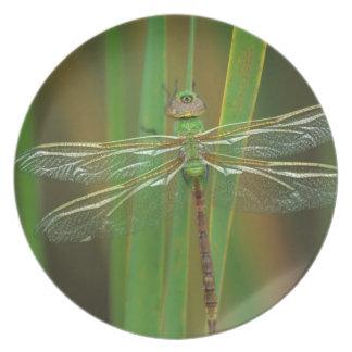 USA, Georgia. Green darner dragonfly on reeds Plate