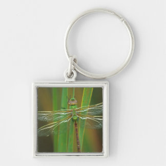 USA, Georgia. Green darner dragonfly on reeds Silver-Colored Square Key Ring
