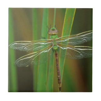USA, Georgia. Green darner dragonfly on reeds Tile