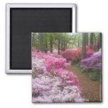 USA; Georgia; Pine Mountain. Azaleas at 2 Square Magnet